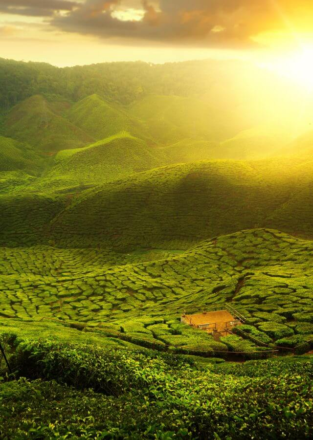 A photographer take a photo at green tea farm in Cameron Highland with sunset and mountain, Malaysia