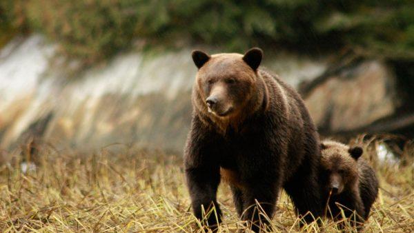 Kanada Whistler niedźwiedź