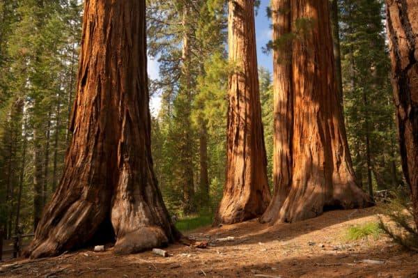 usa drzewa sekwoje