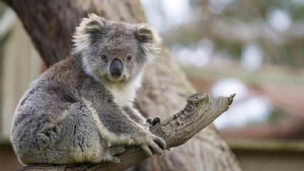 australia sanktuarium zwierząt koala